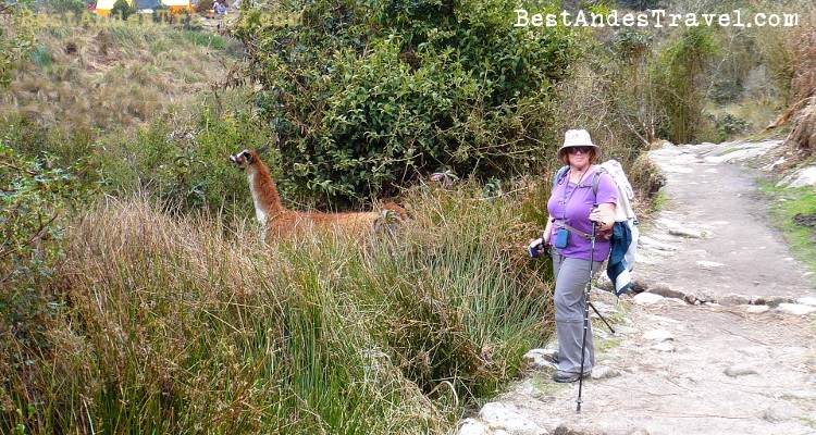 Llamas and tourists hike Machu Picchu together!