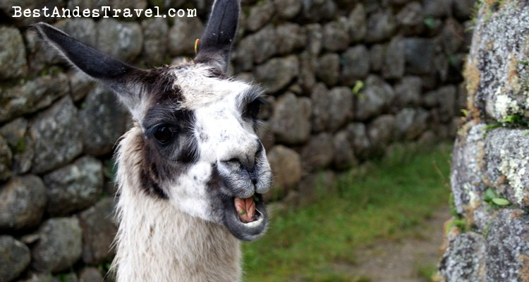 Close up of a llama in Machu Picchu