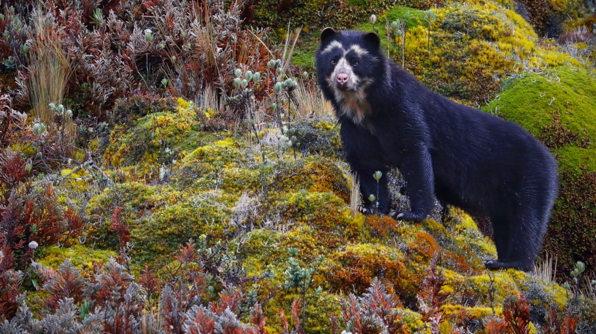 Spectacled Bear Animals Of Peru