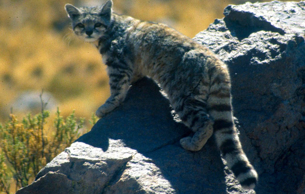 Andean Mountain Cat Animals Of Peru